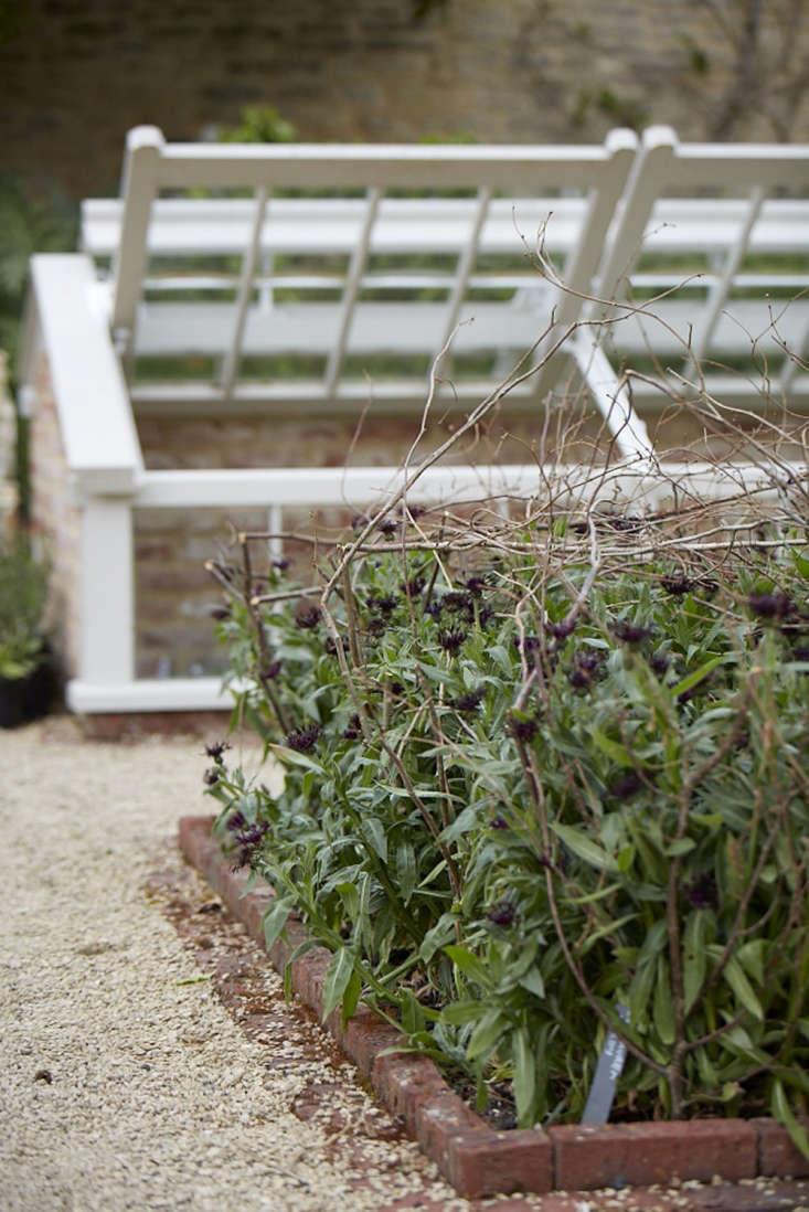 Cornflower (Centaurea &#8