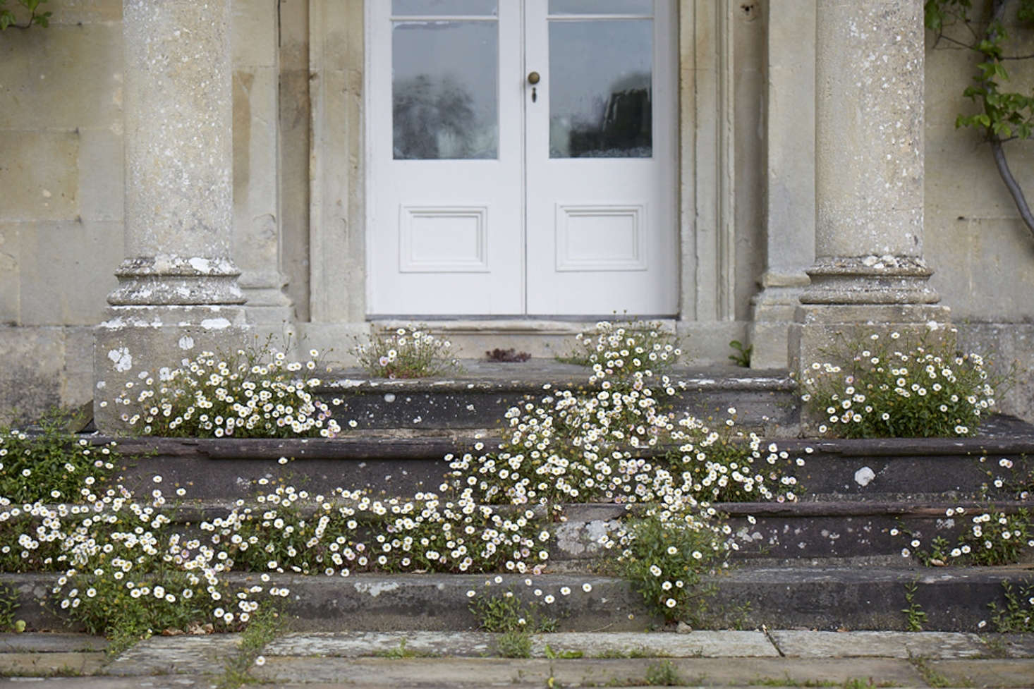 Erigeron karvinskianus forms a romantic froth around the steps at florist Polly Nicholson&#8