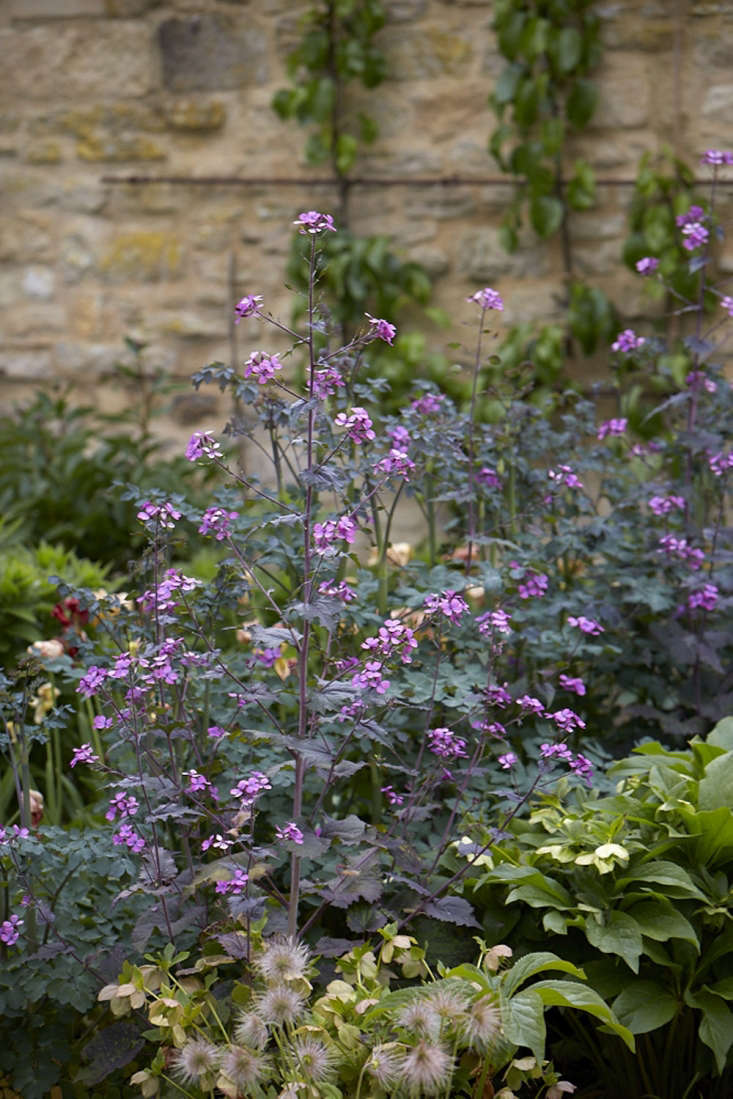 A row of magenta lunaria, between a row of hellebore and a row of Thalictrum &#8