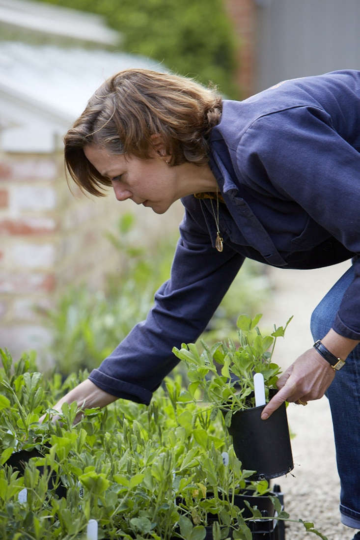 Polly Nicholson sorting through a sea of sweet peasin the walled garden.