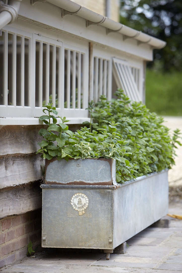 Mint, allowed to romp throughan old galvanized animal trough.