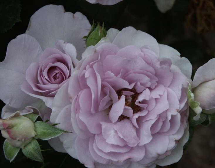 A fragrant floribunda, aBlue Bajou Rose is \$\19.95 CAD from Palatine Fruit and Roses.