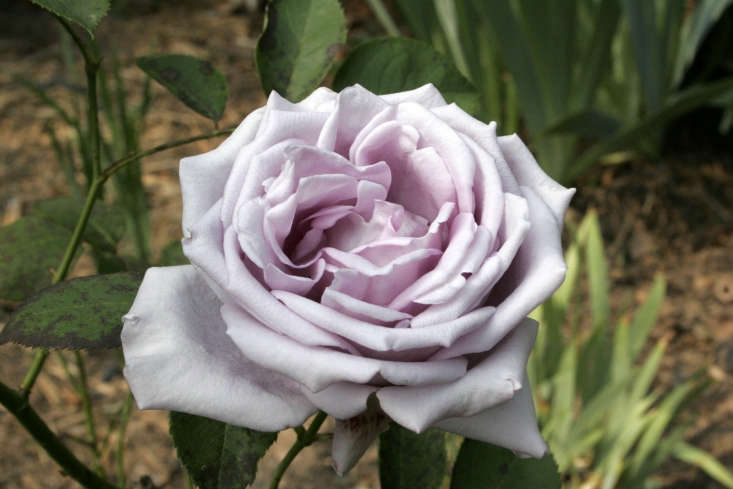 A Blue Moon Hybrid Tea Rose is \$8.49 from Burgess Seed and Plant Co. Photograph by Olaf Gradin via Flickr.