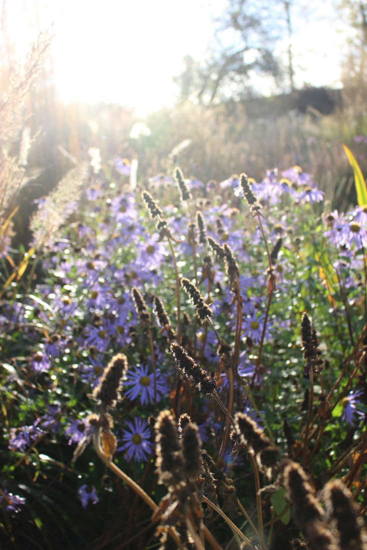 Autumn's low-angled light shines on Aster x frikartii and the seed heads of Stachys hummelo. Photograph by Christin Geall.
