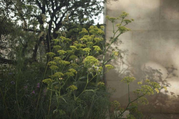 Fennel (Foeniculum vulgare), an archetypal drought-loving Mediterranean plant.