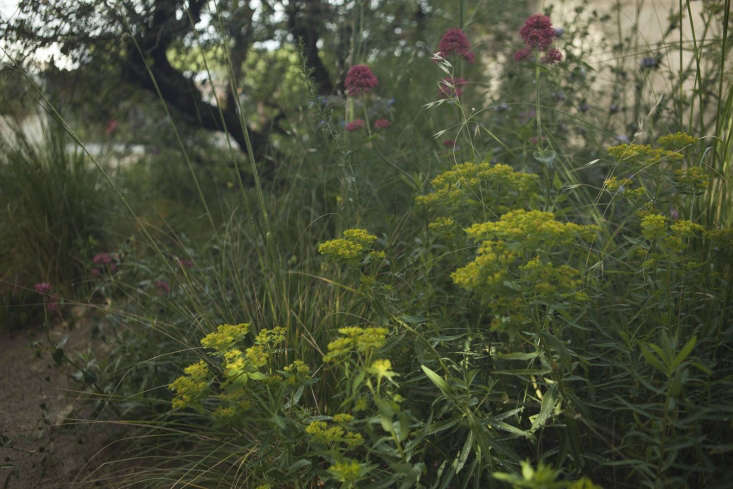 Euphorbia and valerian, two indestructibles of the un-cosseted garden.