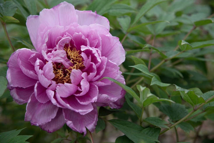 The Choraku &#8\2\20;Forever Happy&#8\2\2\1; variety has bubblegum-pink ruffly blooms.