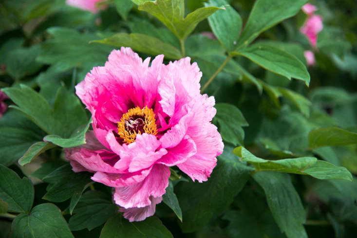 The Chun Hong Jiao Yan &#8\2\20;Glamorous Spring Pink&#8\2\2\1; variety, with a yellow center.