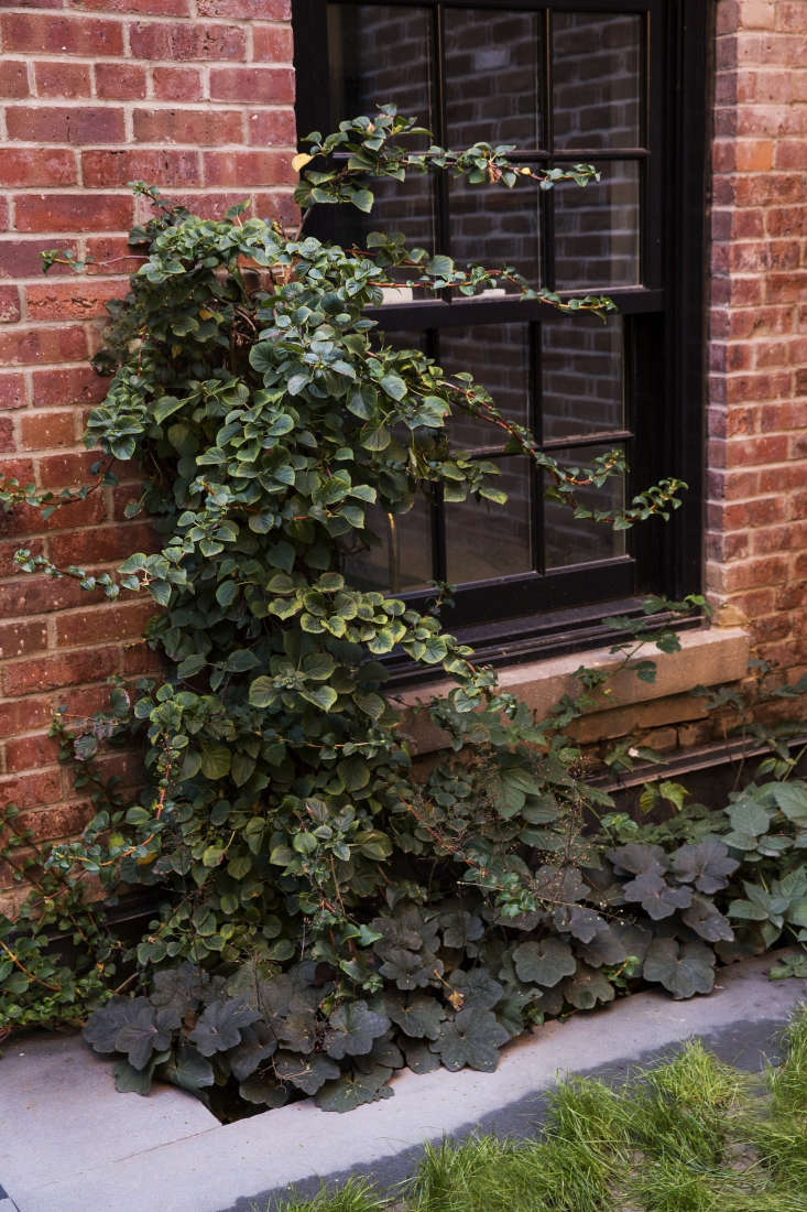 Climbing hydrangeas add interest to the back garden's brick wall, and thrive in an area ofmixed shade and sun.
