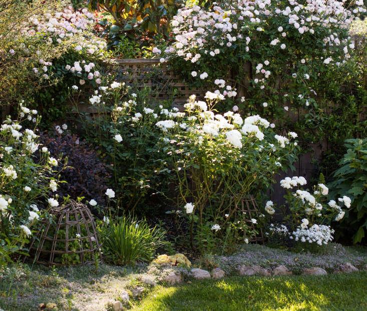 My rose garden on a budget. Photograph by Mimi Giboin.