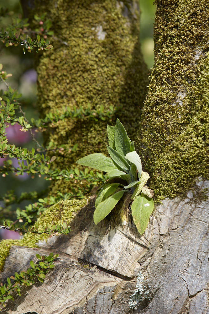 Pas well as an audacious Digitalis which has found a home in the crevice of an old Acer tree.