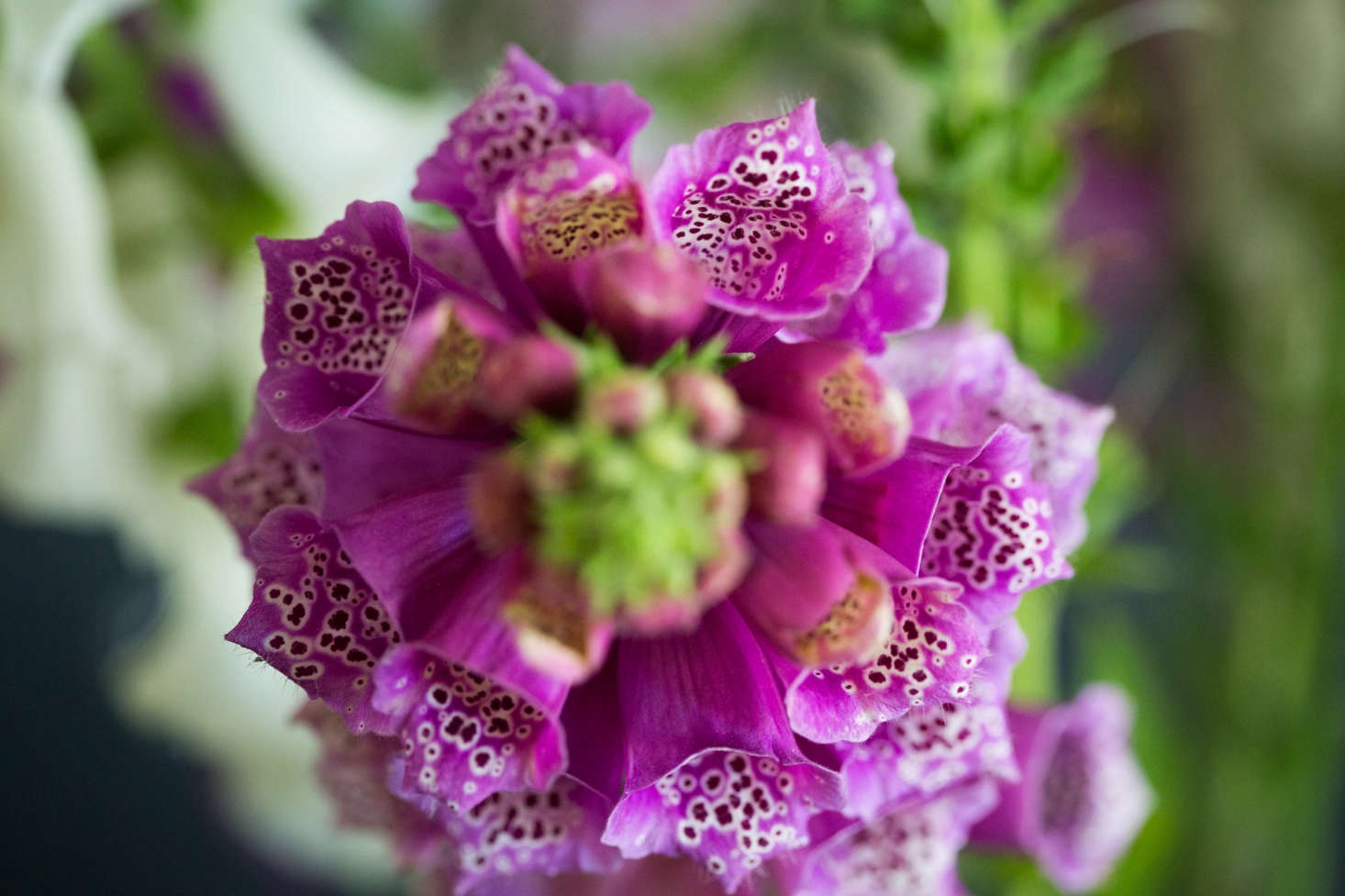 One of the best reasons to cut flowers is it gives you the opportunity to closelyexamine them. I must have walked past this magenta foxglove in the garden a hundred times. But as I inspected the speckled interior of each velvetyflower bell, I wondered if I ever haveseen anything even half asmagical?