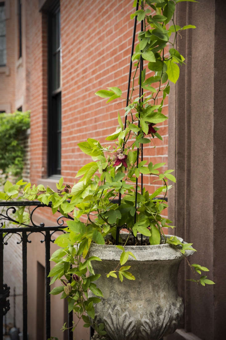 On the front stoop of the townhouse is an English urn that Thompson got from an antiques dealer in South Jersey. It holds a fast-growing passion vine, the passiflora &#8\2\16;Lady Margaret.&#8\2\17;