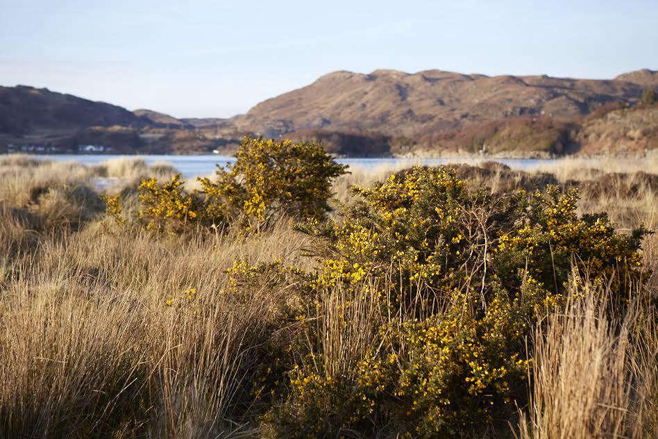 Gorse in Scotland