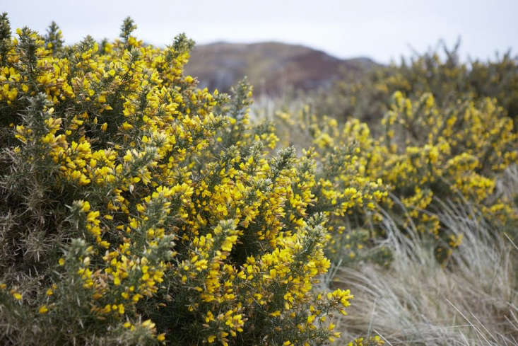 The color can seem jarringfrom a distance but closer up, aided by wafts of scent,the yellow flowers appear more delicate and pea-like, being a pea family member.
