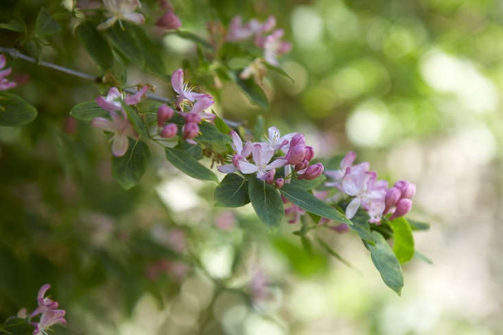 The delicate pink flowers of the bush honeysuckle Lonicera tatarica 'Rosea', bely its hardiness and strong growth.