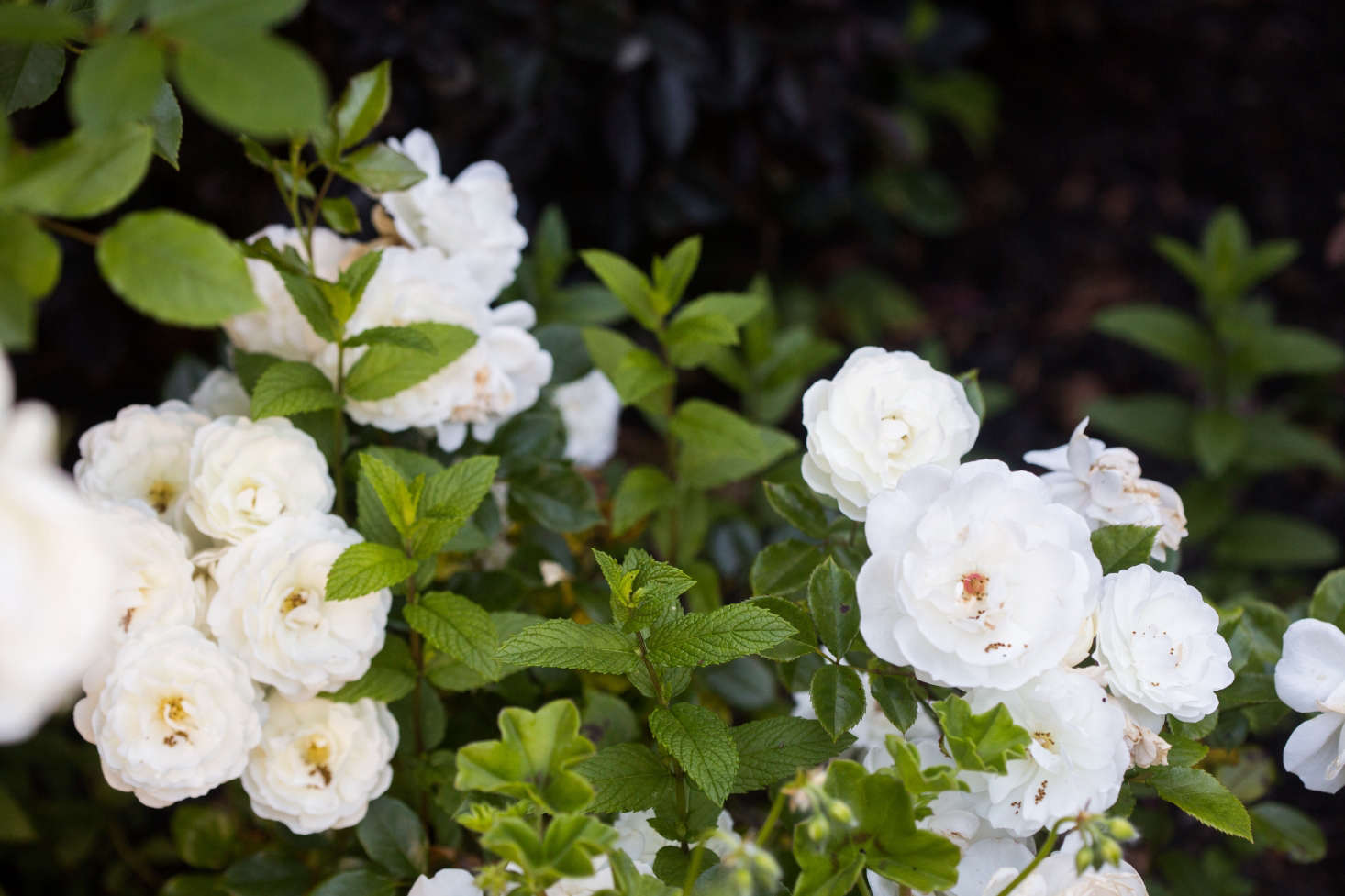 These are not the fragile, finicky roses that florists sell and collectors prize. The  plants I bought—white Iceberg rose bushes, climbing New Dawn roses, and generic landscape roses labeled simply &#8