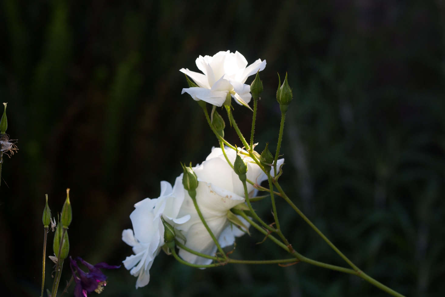 White Iceberg roses are widely available.