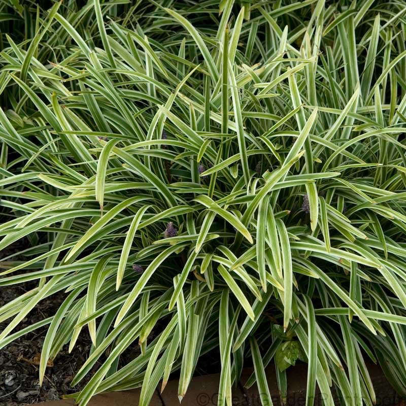 Liriope Silvery Sunproof is $69.97 for a flat of  pots from Wilson Bros Gardens.
