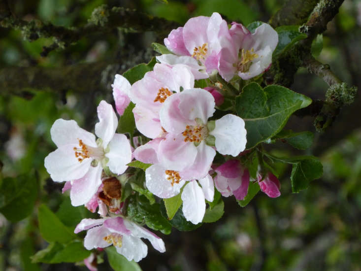 An apple blossom in the orchard.