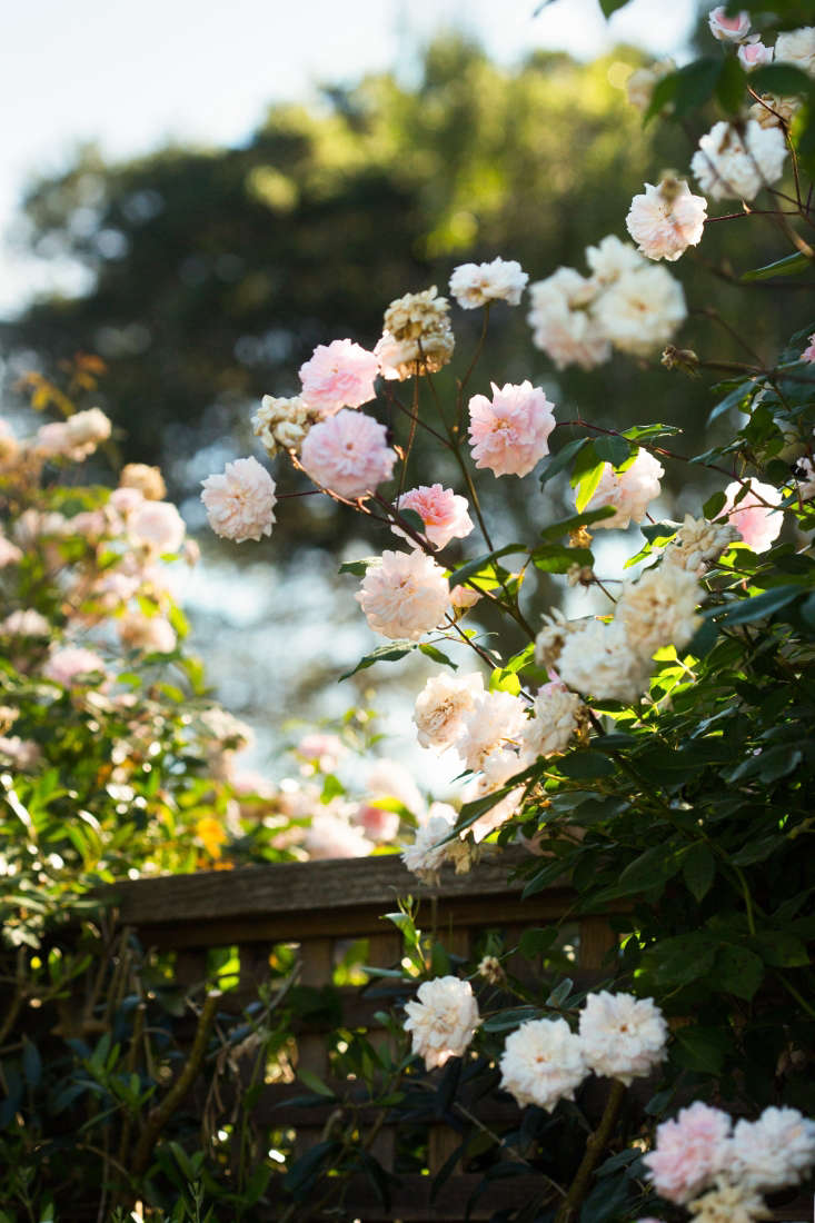 New Dawn climbing roses, a staple in cottage gardens since their introduction in \1930, easily achieve heights of \15 or more feet. They have pink buds and then, as they open and mature, become paler until they are barely not-white.