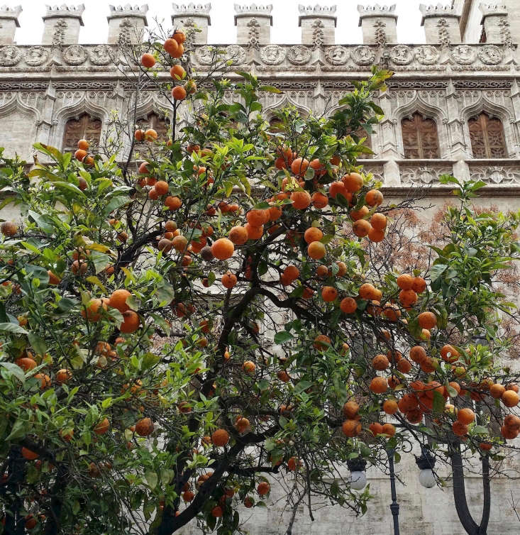 Citrus trees thrive in a warm Mediterranean climate. In Valencia, Spain, the street trees grow oranges (but the fruit is not sweet; better to buy oranges grown in more fertile soil). Photograph by Bryan Alexander via Flickr.