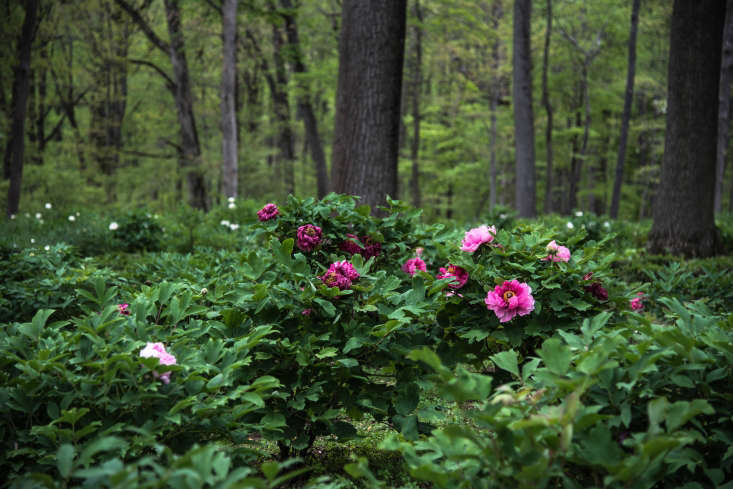 Peony&#8\2\17;s Envy in New Jerseygrows 700 different cultivars of peonies—including tree peonies, which grow inwoodlands.