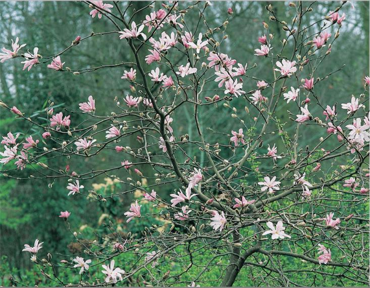 Magnolia x loebneri 'Leonard Messel' flowers in April in Beth Chatto&#8\2\17;s shade garden.