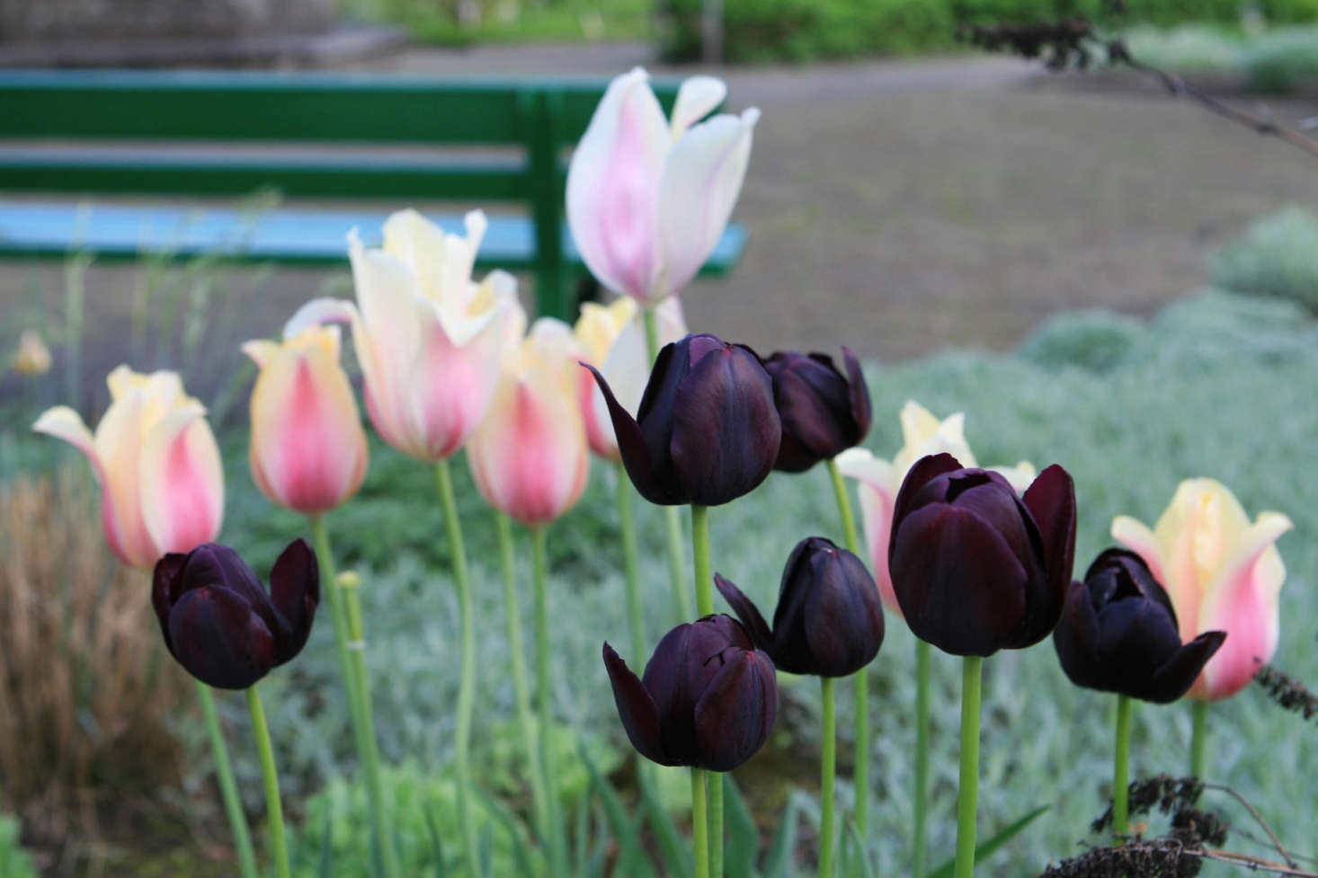 Deep purple Queen of the Night tulips, thriving in a group of seven. Photograph by Jeonghi Go via Flickr, from  Garden Ideas to Steal from the Netherlands.