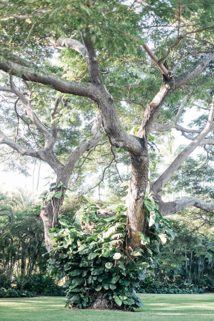 A monkeypod tree, overgrown with vines.