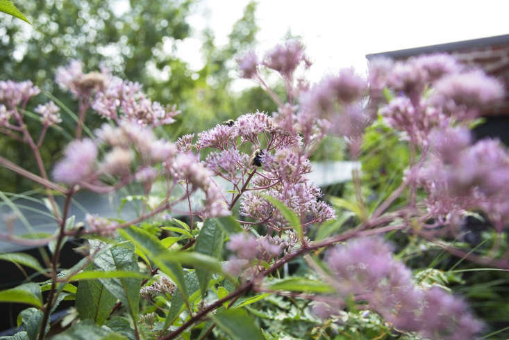 On a roof garden, designer Emily Thompson plantedJoe Pye weed in containers. For more, see Garden Visit: Emily Thompson Explores Her Dark Side in Brooklyn Heights. Photograph by Mia Kim.