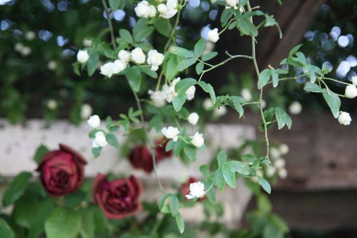 Jasmine and roses. Photograph by Olga Berrio via Flickr.
