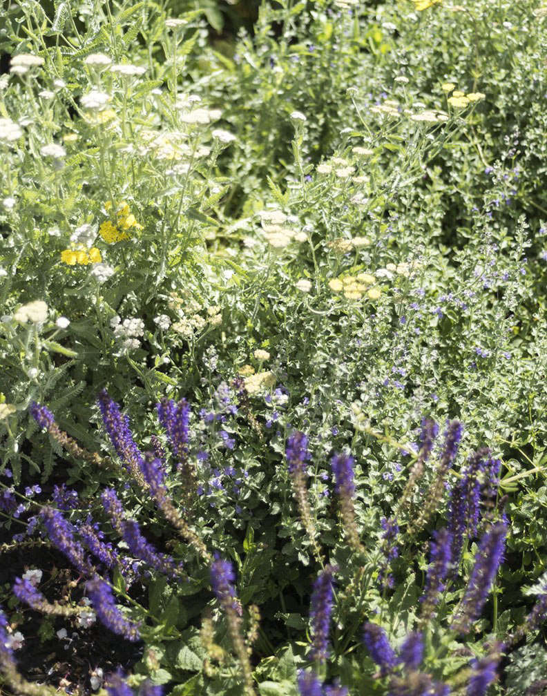 In autumn, I divide clumps of perennials such as yarrow and purple salvia toswap for plants myfriends have.