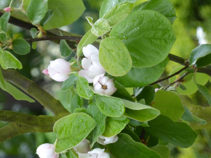 Quince (Chaenomeles &#8