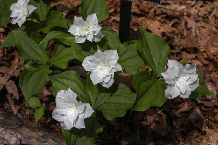 Trillium grandiflorum forma petalosum or &#8