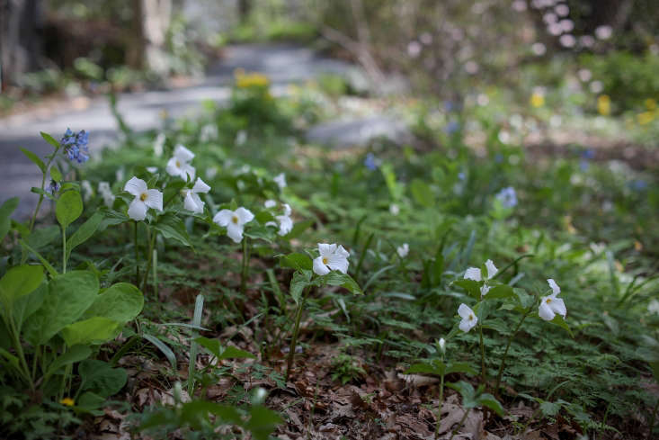 Trillium grandiflorum mixed with other woodland plants at Garden in the Woods in Framingham, Massachusetts.