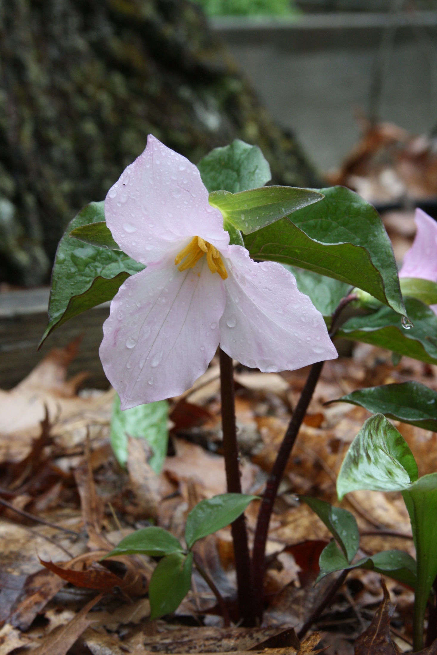 After Trillium grandiflorum has been pollinated, its petals turn pink to signal to insects that they may move on. Also in this family, T. roseum has pink flowers to begin with, so insects will pass it by; this variety must be pollinated by hand. Photograph by Dan Jaffe.
