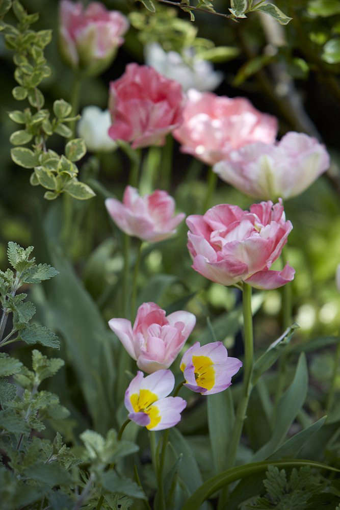 Sometimes mistaken for a peony, the blowsy Tulip Angelique intermingles with the species Tulip Bakeri 'Lilac Wonder'.