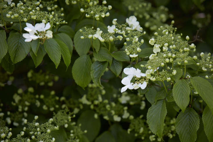 Sometimes known as the Japanese Snowball bush, Vibernum plicatum 'Mariesii' is part of the Adoxaceae family.