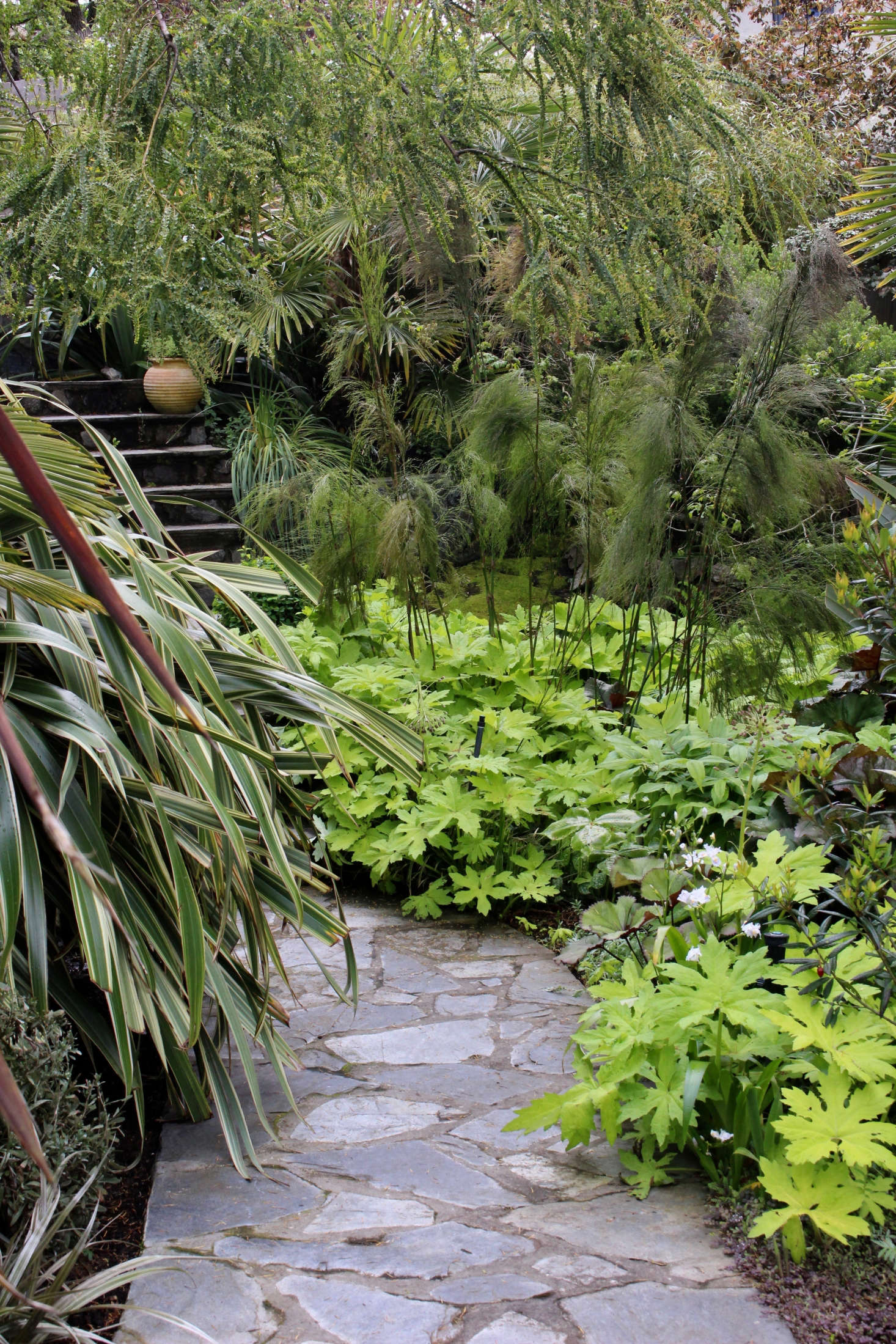 The entrance pathway is lined with Petasites 'Golden Palms', from which the Australian plant Baloskion tetraphyllum rises. Acacia pravissimia arches overhead, with Phormium cookianum 'Tricolor' at left.