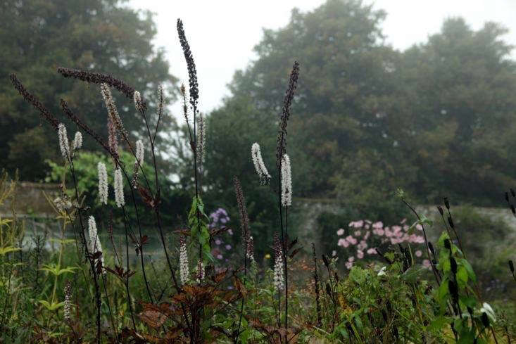 Actaea simplex flowers and skeletons.