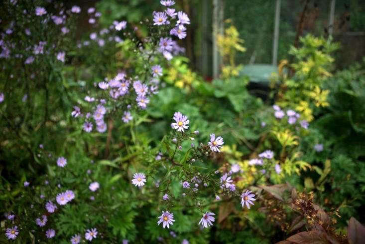 Asters are an annual that pollinators do love. Photograph by Jim Powell, from Can This Garden Be Saved: &#8