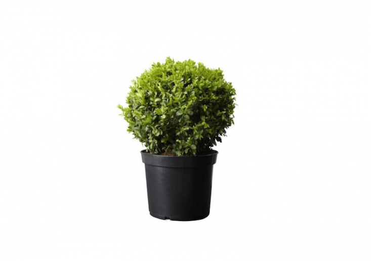 Kept clipped, boxwood orbs will provide a year-round green backdrop in a garden. A variety of suitable varieties including Green Velvet, Wintergreen, and Dwarf English boxwoods are available at prices starting at \$\29.95 depending on variety at Nature Hills.