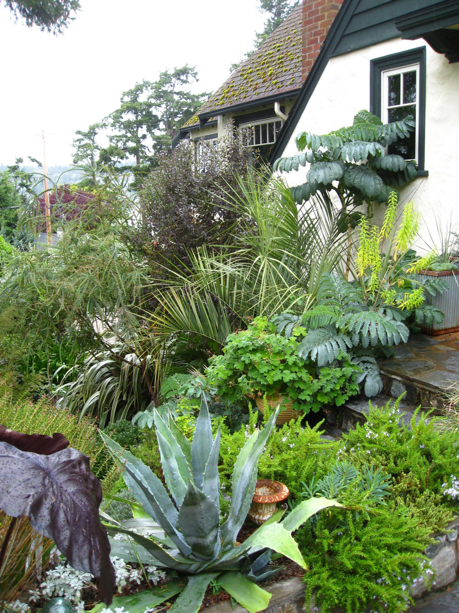 Layers of foliage envelop the front door landing, with the contrasting textures of ablue Agave americanaand creeping rosemary. The South African Melianthus major emerges from behind the palm Butia capitata, adding a &#8