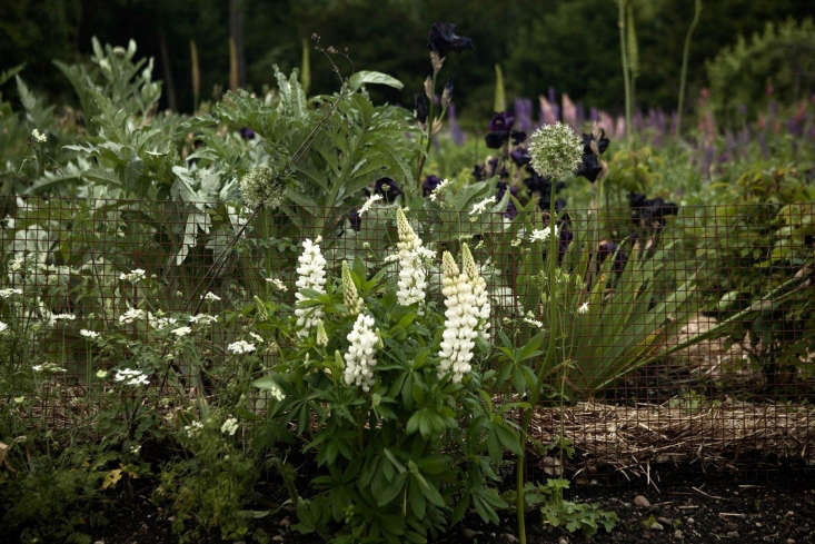 A loose collection of lupines, iris, and self-sown allium against the giant silvery foliage of cardoon.