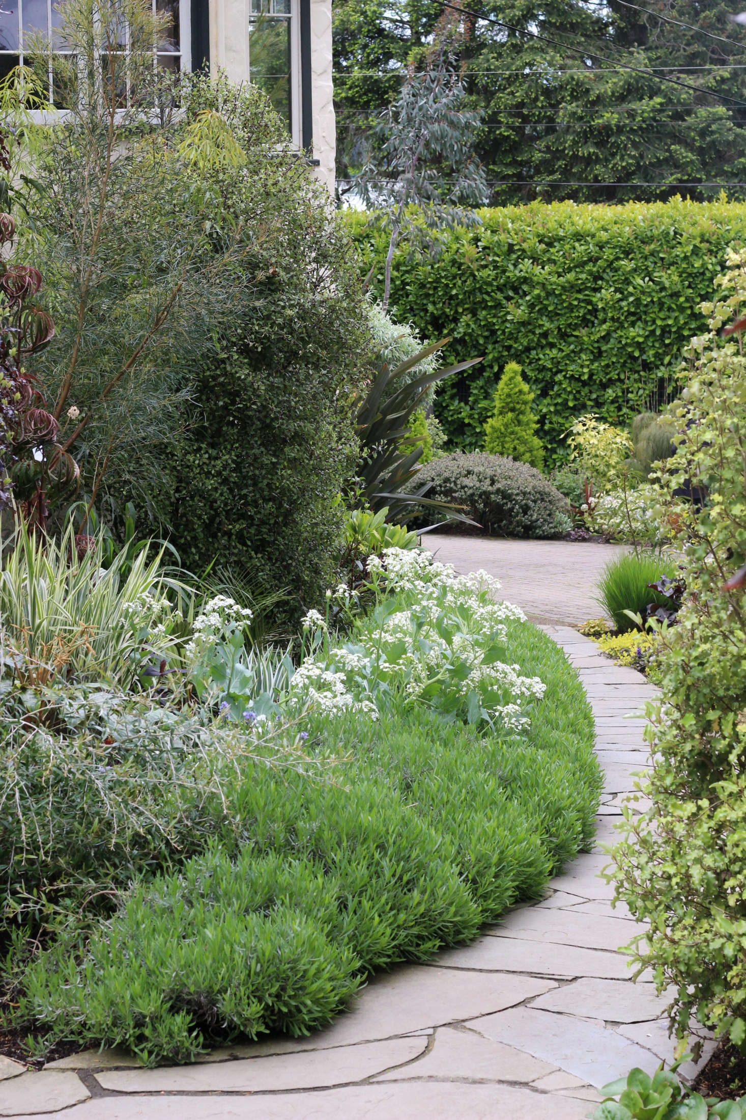 The front path edged with lavender and Crambe cordifolia just coming into bloom.Photograph by Graham Smyth.