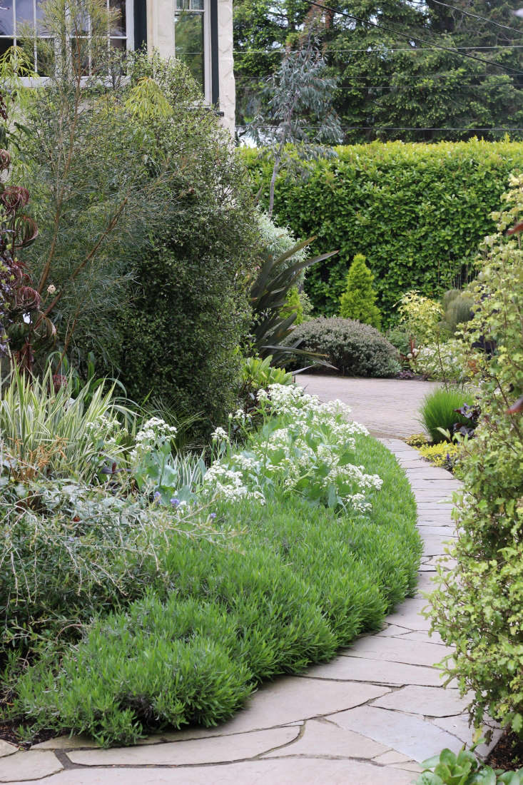 The front path edged with lavender and Crambe cordifolia just coming into bloom. Photograph by Graham Smyth.