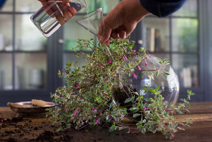 Fuchsia thymifolia has delicate, lacy foliage, and teardrop flowers. Using a borosilicate glass Filtering Funnel(\$6.75 from Syringa Lab Supplies), we added enough water to a glass ball terrarium to moisten the plant&#8\2\17;s roots thoroughly.