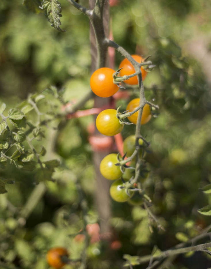 See tips for growing tomatoes at Tomatoes: A Field Guide to Planting, Care & Design. Photograph by Matthew Williams.