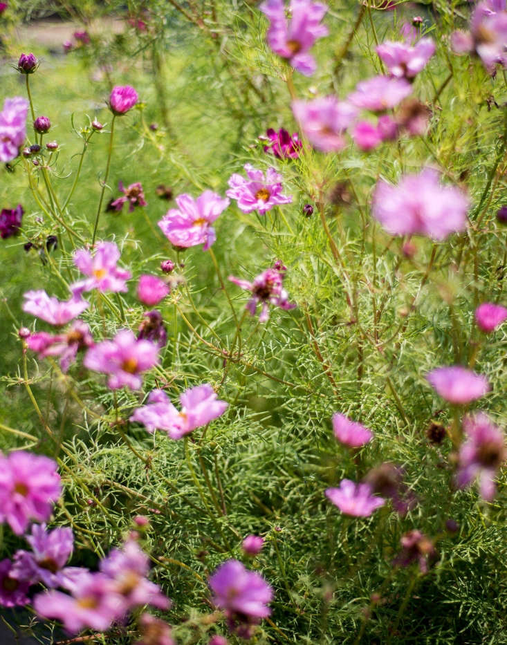 Cosmos thrive in ahot, sunny spot.